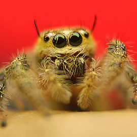 jumper  by Aris Kh Kh - Animals Insects & Spiders ( jumping, spider jumper, jumping spider, jumper spider )