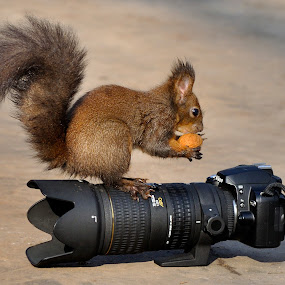 NIK Squirrell by Gabriel Catalin - Animals Other Mammals
