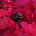 Carpenter Bee