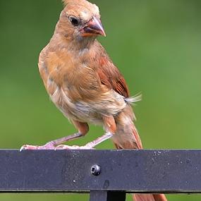 Young female cardinal by Alan Hammond - Animals Birds ( animals, birds )