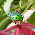 jewel bug or metallic shield bug
