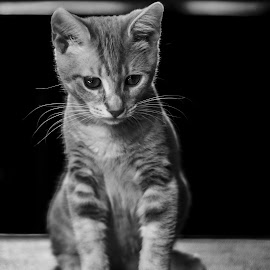 Confused kitten by Christopher Fenning - Animals - Cats Kittens ( black and white cat, cat, kitten, black and white, kitten profile, black and white kitten, confused kitten )