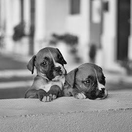 Little Brothers / BW by Sergio Yorick - Animals - Dogs Puppies ( puppies, black and white, dog, portrait, animal )