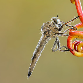 Asilus by Eric Niko - Animals Insects & Spiders ( asilus, d700, sigma 150os, asiliade,  )