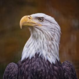 E Pluribus Unum.... by Vincent Sinaga - Animals Birds ( bird, avast, bold eagle, e pluribus unum, animal )