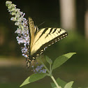 The Old World Swallowtail Butterfly