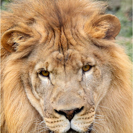 King of the Paddock by Dennis Ba - Animals Lions, Tigers & Big Cats