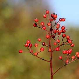 Autumn Berries by Chrissie Barrow - Nature Up Close Other plants ( red, green, bush, spherical, bokeh, berries )
