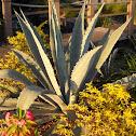 American aloe, Century Plant