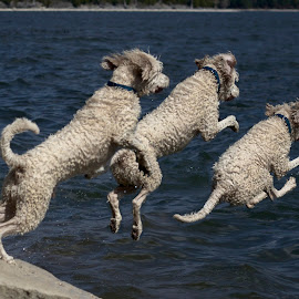 Jump Sequence 3 by Ross Bolen - Animals - Dogs Playing