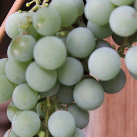 Concord grapes by Michael Watts - Food & Drink Fruits & Vegetables