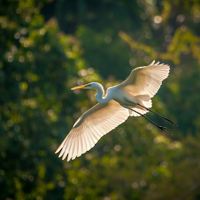 Free Falling by Mahdi Hussainmiya - Animals Birds ( flight, wings, action, wildlife, feathers, backlighting, bokeh, egret, bird in flight, gliding )