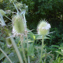 teasel, common