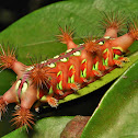 Late Instar Stinging Nettle Slug Caterpillar of a Cup Moth