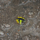 yellow mantella frog