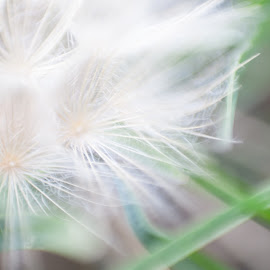 Blowing in the Wind by Steve Wieseler - Abstract Macro ( grass, green, white, blur, bokeh, close up, flower )