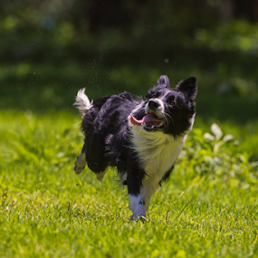Collie by Cristobal Garciaferro Rubio - Animals - Dogs Running ( border collie, dog, running )