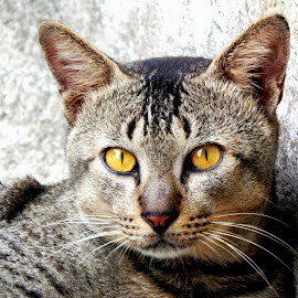 Small tiger  by Avijit Bhowmick - Animals - Cats Portraits ( attitude, cat, cat eyes, attractive, yellow, yellow eyes, eye )