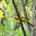 South American Yellow Oriole