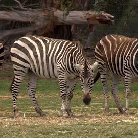 Stripes by Cheryl Muir - Animals Other (  )