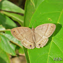 Satyrid butterfly