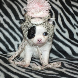 Snow White by Suzzette Drake - Animals - Dogs Puppies ( girl, winter hat, puppy, chihuahua, long coat )