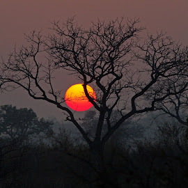 Londolozi Sunset by Michael Moss - Landscapes Sunsets & Sunrises ( tree, silhouette, sunset, south africa, africa, sun,  )