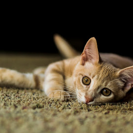 Waiting by Christopher Fenning - Animals - Cats Playing ( kitten, cat, intense eyes, desire, lying down, eyes,  )