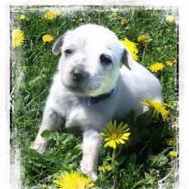 Violet by Cynthia Potter Nichols - Animals - Dogs Puppies ( pet portrait, blue heeler puppy, pet photography, puppies, dogs, acd puppies, acd's, blue heeler,  )