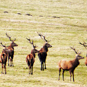 Red Deer (stag)