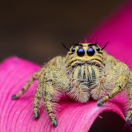 Heavy Jumping Spider - Hylius Diardi by Nazari Shuib - Animals Insects & Spiders
