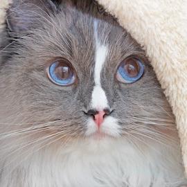 Hiding by Mia Ikonen - Animals - Cats Portraits ( ragdoll, curious, hiding, finland, cute )