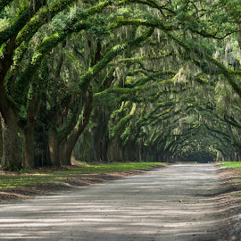 Oak Avenue, Wormsloe Historic Site by Brandon Satinsky - Landscapes Forests ( savannah, wormsloe, oak, trees, forest, road )