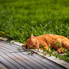 by Kelvin Kam - Animals - Cats Portraits