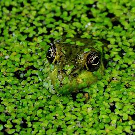 Camaflauge by Thomas Barr - Animals Amphibians