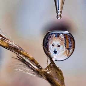 Falling Water Drop with refraction of a dog. by Connie Publicover - Nature Up Close Water (  )