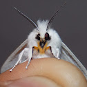 Virginian Tiger Moth
