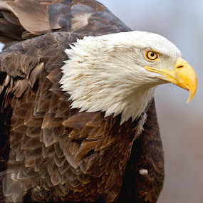 My First Captive Eagle by Herb Houghton - Animals Birds ( eagle, bald eagle, captive, herbhoughton.com )