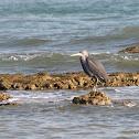 Western Reef Egret / Heron