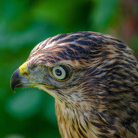 Hawk by Željko Matulic - Novices Only Wildlife