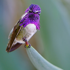 portrait of a hummingbird by Dean Mayo - Animals Birds ( bird, perched, nature, hummingbird, costa, portrait )