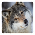 Wolves Live Wallpaper APK for Bluestacks