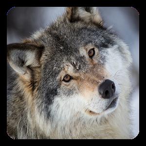 Wolves Live Wallpaper For PC