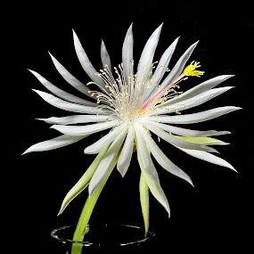Epiphyllum by Phil Olson - Flowers Single Flower ( white flower, digital art, epiphyllum, flower, photoshop,  )