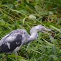 Little Blue Heron hunt a crab.