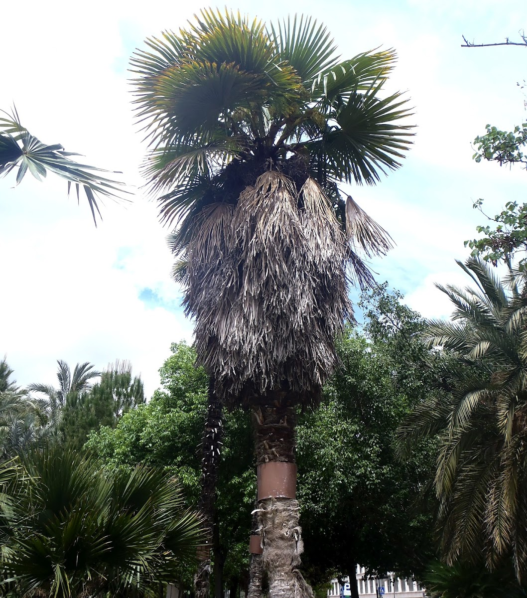 Palmera excelsa, Chinese Windmill Palm