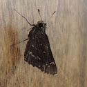 Bell's Roadside-Skipper Butterfly