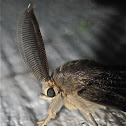 Gypsy Moth (Male)