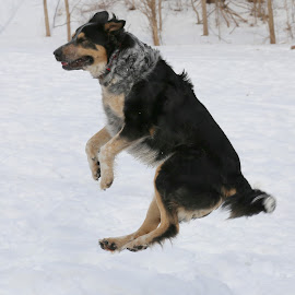Flying Dog by Marty Cutler - Animals - Dogs Playing ( dog in air, dog jumping, dog playing, dog levitating, dog )