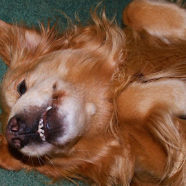 This is when I asked him to smile. by Denise Dunkley Hall - Animals - Dogs Playing